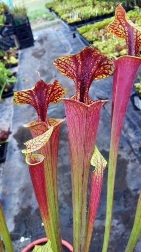 sarracenia-flava-var-rubricorpora-chris-heath-kannenpflanze-5-samen