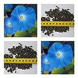Prunkwinde himmelsblau (kletterplanze) - Ipomoea Morning Glory blue - Samen (100)