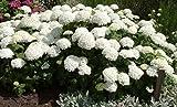 Schneeballhortensie Annabelle - Hydrangea arborescens Annabelle