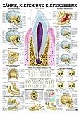 Anatomie Poster - Mini-poster - Zähne, Kiefer und Kiefergelenk, Tafel 34 x 24 cm