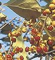 männlicher Baumwürger Herculus 40-60cm - Celastrus orbiculatus von Baumschule auf Du und dein Garten