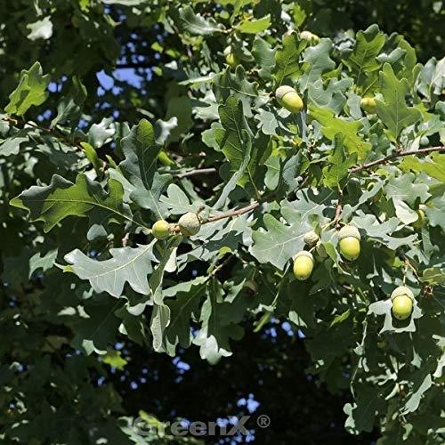 Kompakte Stiel Eiche 30-40cm – Quercus robur