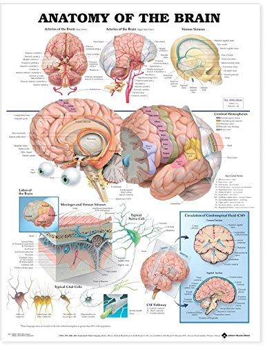 The Anatomy of the Brain por Anatomical Chart Company