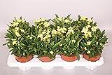 Christusdorn (Euphorbia millii), gelb blühend, Sorte: Helios, im 12cm Topf