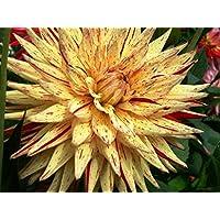 Pets Delite® Cactus Dahlia 'Hy Pimento' (2 tubérculos) Grandes Flores Cortadas, floraciones Verano a Caer