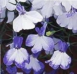 Fiore - Lobelia Rampicante - Regatta Blu Splash - 1000 Seme