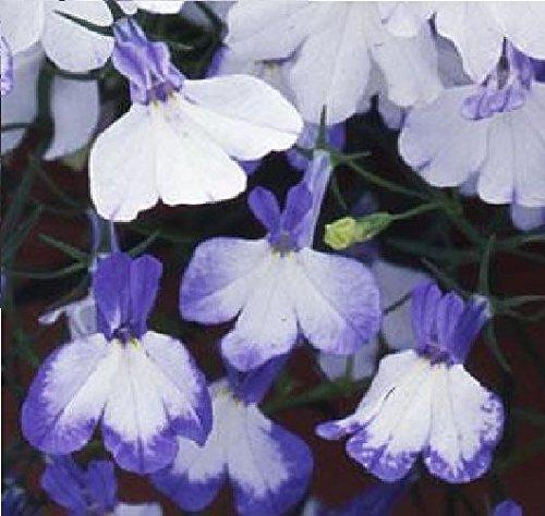 fiore-lobelia-rampicante-regatta-blu-splash-1000-seme