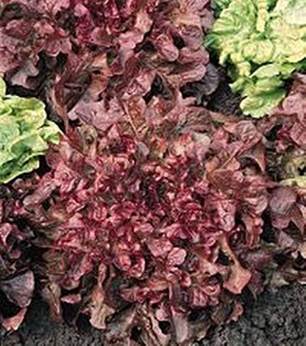 Pase Seeds Lettuce Leaf Salad Bowl Red Vegetable Seeds Red Salad Bowl