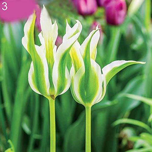 luo-401xx 100pcs bulbi di tulipani semi di fiori, facile da coltivare, bella pianta da balcone bonsai multicolore per la decorazione dell'ufficio del cortile di casa tipo 3 semi di tulipano