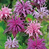 AGROBITS Flower - Suffolk s - Bergamote - monarde - Paquet Pictorial