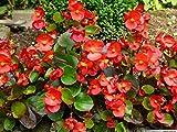 AGROBITS 100 Red Begonia Begonia semperflorens Semi F-219 Comb Sh + regalo