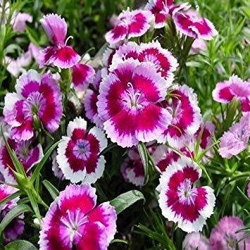 Farmerly 200+Seeds Dianthus Sweet William Mix Flower Seeds (Dianthus Barbatus) -