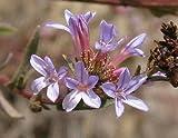 Plumbago europaea - Leadwort comune - Rare pianta tropicale arbusto semi (5)