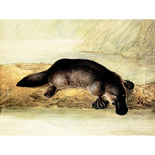 Wee Blue Coo LTD Painting Platypus River Bank Duck Billed Art Canvas Print -