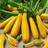 Soteer Garten - 10 Stück Gelb Zucchetti Samen, Squash Zucchini 'Goldberry F1' Bio Gemüsesamen ertragreich winterhart mehrjährig für Garten Balkon/Terrasse