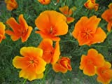 SeeKay Californian Poppy 600 seeds