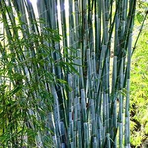 tarifas envia: Go Garden 10 Unidades. Bag Hybrid Pot, Raro jardín de bambú, Puro Aire, casa de ...