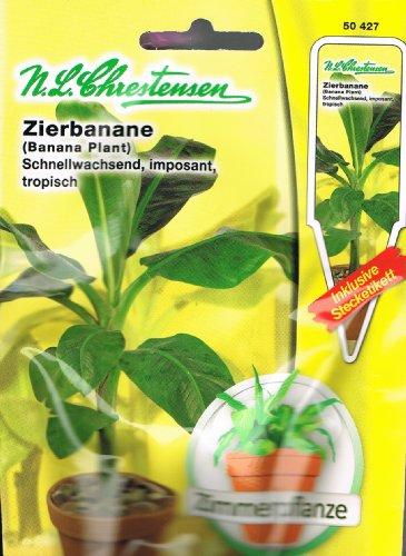 Zierbanane Zier Banane Musa ensete Zimmerpflanze Schnellwachsend imposant tropisch