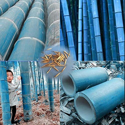 "Tomasa Samenhaus- Raritäten 100 Exotisch Winterharter Bambus Samen Riesenbambus Pflanzen Samen mehrjährig Moso Bambus\""Schirmbambus Great Wall\""Bambus für Garten, Teich"