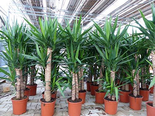 3 Köpfe: Yucca Palme Elephantipes 160 cm hoch, Büropflanze, Zimmerpflanze