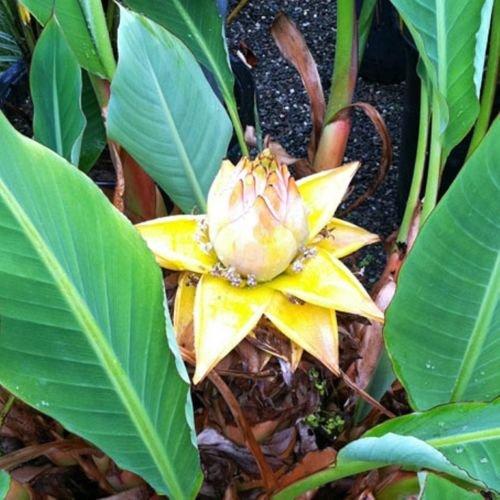 Future Exotics Winterharte Musella Lasiocarpa Banane für den Garten