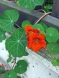 Große Kapuzinerkresse (Tropaeolum majus) 10 Samen eßbare Blüten