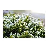 Spreadshirt Moos im Winter Makro Aufnahme Poster 90x60 cm, Weiß