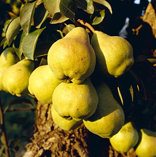 Kevin Saitta/Design Pics - Agriculture - Mature Bartlett Pears on The Tree in Late Afternoon Light/Brentwood California USA. Photo Print (38,10 x 38,10 cm)