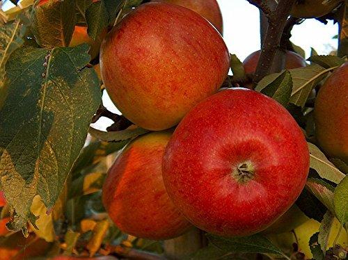 braeburn-apple-tree-4-5-ft-self-fertileready-to-fruitcrisp-aromatic