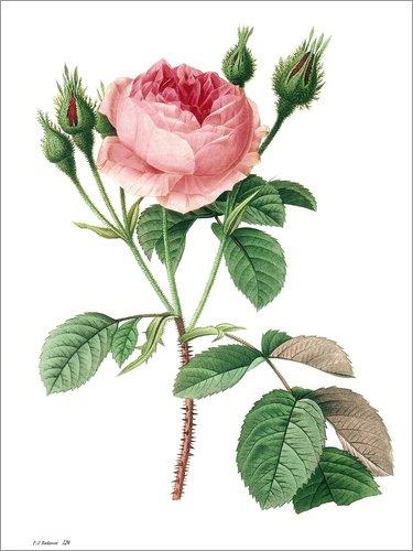 Posterlounge Forex-Platte 100 x 130 cm: Moosrose (Rosa muscosa) von Pierre Joseph Redouté