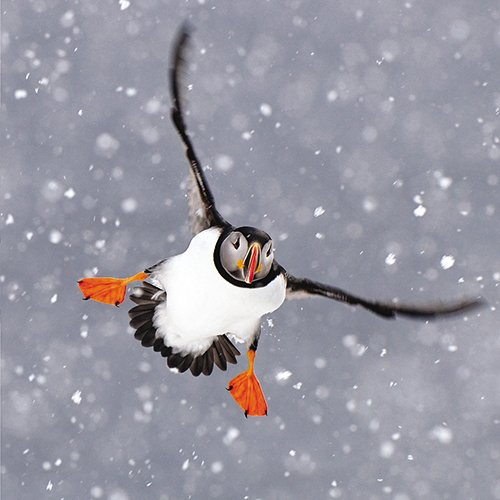 The Alamanac Gallery / The Great British Card Co. Christmas Cards - Charity Pack of 8 ``Puffin In The Snow`` 6.25`` x 6.25`` ALCX9133