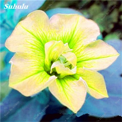100 pcs / sac pétales de double Petunia Graines Bonsai Graines de fleurs Court Taille Jardin Fleurs Graines d'intérieur ou Ourdoor Pot 23 Plante