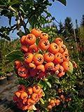 Feuerdorn Orange Glow 40-60 cm Strauch für Sonne-Halbschatten Zierstrauch orange Früchte Gartenpflanze winterhart 1 Pflanze im Topf