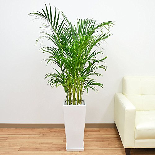 アレカヤシ ロングスクエア陶器鉢植え 8号サイズ
