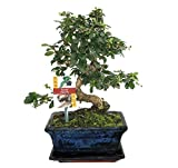 Bonsai Fukientee - Carmona microphylla - ca. 8 Jahre