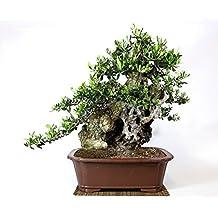 Bonsai olivo for Acquisto piante olivo