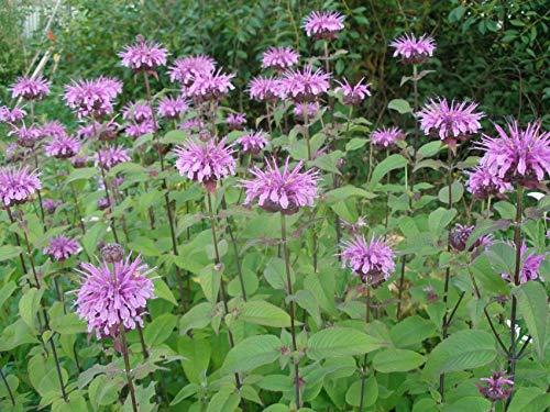 Wilde Bergamotte - Monarda fistulosa - Wilde Indianernessel - Wilde Monarde - 100 Samen (Wild-kräuter Samen)