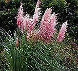 PLAT FIRM-SEEDS Schöne 500pcs / Beutel Bunte Pampasgras Cortaderia Samen sind sehr schöne Gartenpflanzen Dekorative