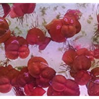 Phyllanthus Fluitans Live flotante Plantas (Rojo raíz Floater)