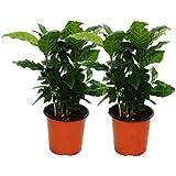 Coffee Plant (Coffea arabica) - 2 Plants - Houseplant