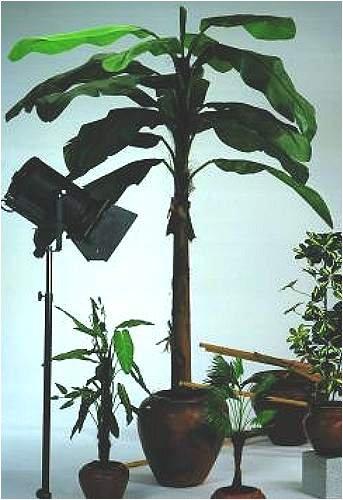 Bananenbaum 10 Blätter 220cm