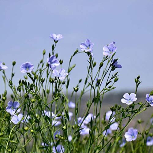 Bornbayb 100 Pieces Blue Flower Graines De Lin Maison Jardin Plantation De Graines