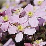 Plant World Seeds - Clematis Montana Pink Seeds