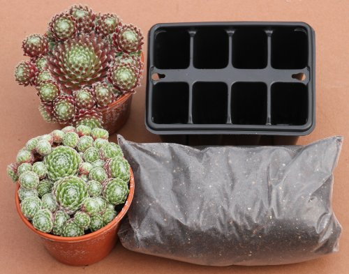 sempervivum-hens-chicks-starter-growing-kit-for-taking-cuttings-2-plants-2-plug-trays-compost