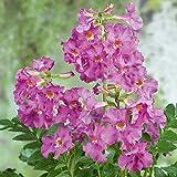 KEBOL Garten-Gloxinie Incarvillea | glockenförmige Blüten | rosa | 3er Pack Blumenzwiebeln