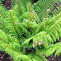 Flacher Filigranfarn- Polystichum proliferum- 10 Stück- Topf: 0,7 ltr.