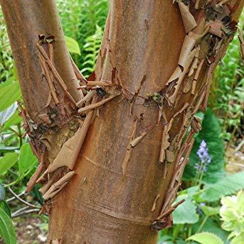 Potseed - Zimt-Ahorn (Papier-Rinde Maple) Samen - Zimt-rinde-baum