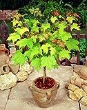 E Garden Caucasian Maple Tree Seeds