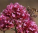 Go Garden Red Valerian Centranthus Ruber Jupiter Barbe rose foncé vivace 30 graines