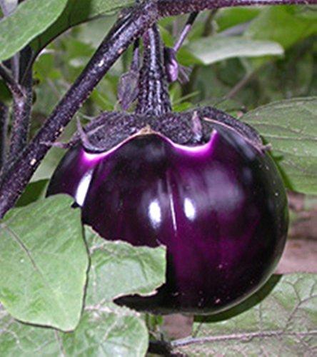 Graines de Purple Aubergine Valencia ronde de culture biologique Heirloom NON-OGM